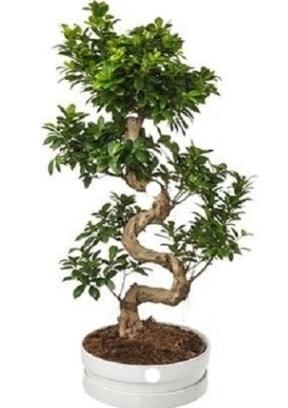 90 cm ile 100 cm civarı S peyzaj bonsai  Hediye Çiçek uluslararası çiçek gönderme
