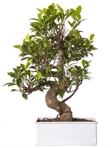 Exotic Green S Gövde 6 Year Ficus Bonsai  İstanbul uluslararası çiçek gönderme
